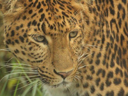 The cheetah