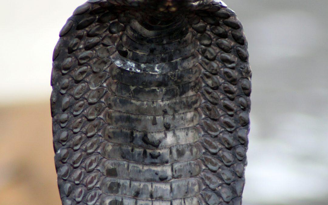 Snake Cobra Place- Marrakech